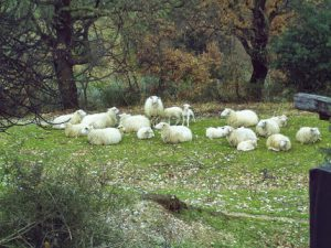 A group of sheep lying in the gras