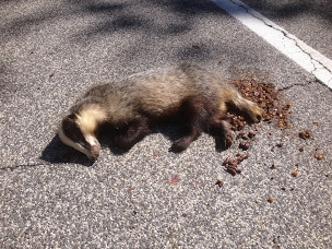A badger lying on the road