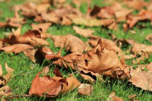 dry leaves on green gras