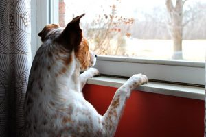 dog waiting at the window