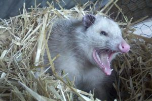 An opossum showing its teeth