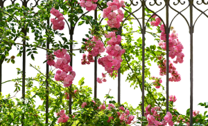 a rose fence